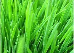 Ростки пшеницы - средство от всех болезней