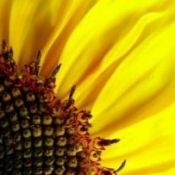 Nasiona słonecznika - korzyści i szkody