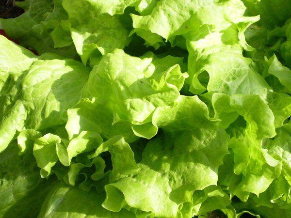 Щавель ревень хрен салат укроп