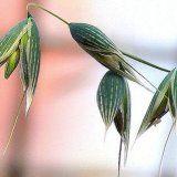 Свойства растения овес посевной