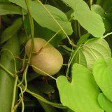 Трава диоскорея для женского здоровья