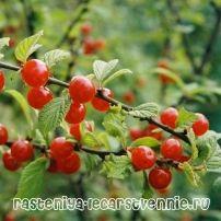Войлочная вишня - посадка и уход, выращивание
