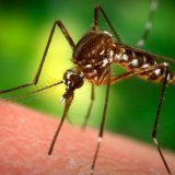Возбудитель каких инфекций передается через укусы кровососущих насекомых