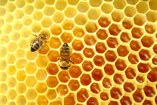 Забрус пчелиный: что это такое, применение, польза и противопоказания, лечебные свойства