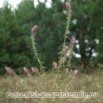 Зубчатка поздняя трава: фото, применение, описание